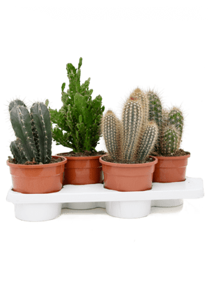 Cactus mix 4/tray