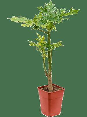 Carica papaya Stam 26/25 105 - Plant