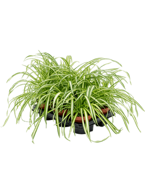 Chlorophytum atlantic 6/tray