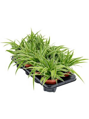 Chlorophytum ocean 8/tray