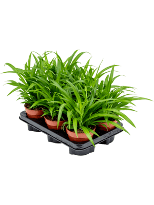 Chlorophytum lemon 6/tray
