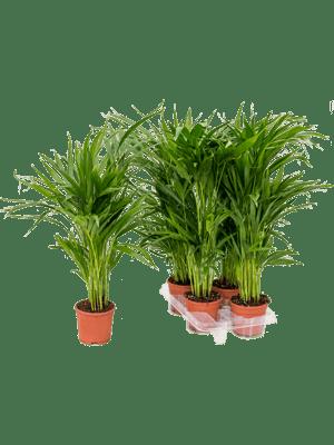 Areca (chrysalidoc.) lutescens 4/tray