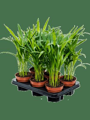 Areca (chrysalidoc.) lutescens 6/tray