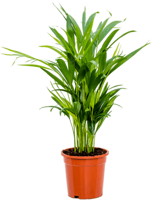 Dypsis (areca) lutescens 6/tray Tuft 17/16 55 - Plant
