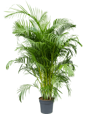 Areca (chrysalidoc.) lutescens 160-220