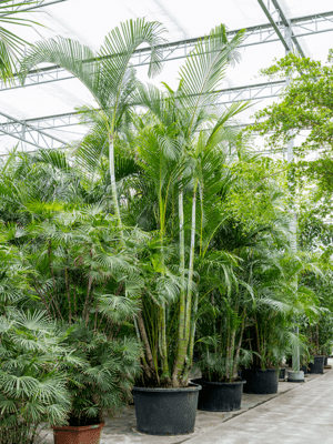 Dypsis (areca) lutescens Toef 100/65 650 - Plant