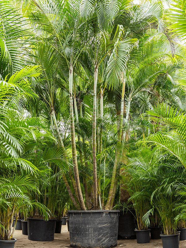 Dypsis (areca) lutescens Toef 120/81 650 - Plant - Main image