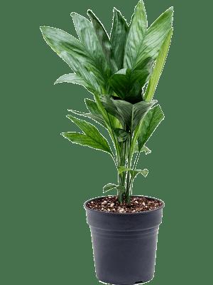Chamaedorea metallica Bush 17/16 60 - Plant