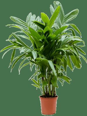Areca (chrysalidoc.) triandra