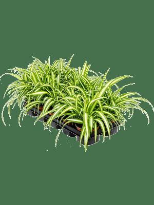 Chlorophytum variegatum 10/tray