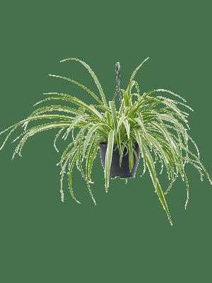 Chlorophytum variegatum