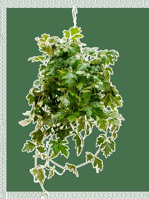 Cissus ellen danica
