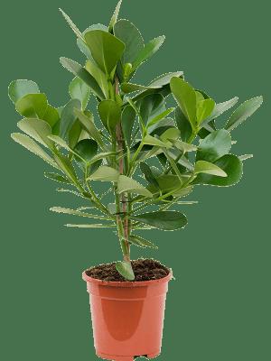 Clusia rosea green magic