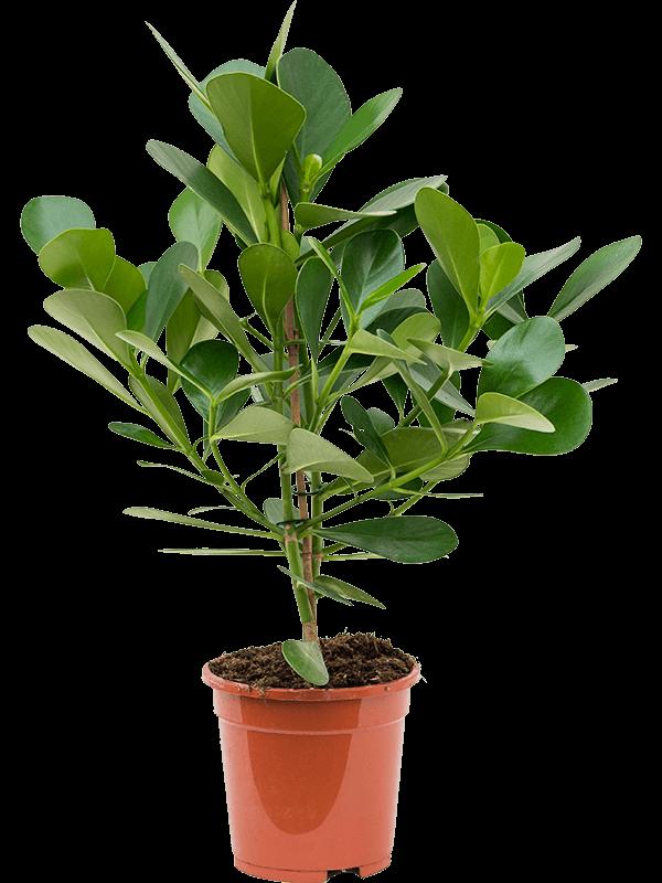 Clusia rosea 'Green Magic'  17/16 65 - Plante - Main image