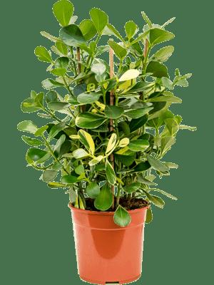 Clusia rosea gold rush