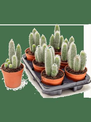 Cleistocactus strausii 6/tray