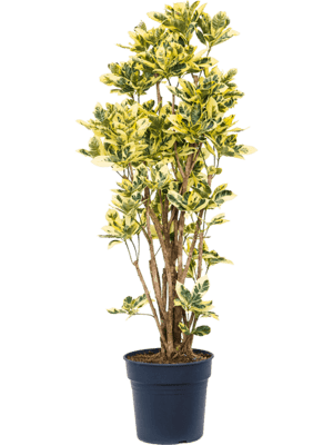 Croton (codiaeum) variegatum 'Eburneum' Ramifié 30/27 120 - Plante