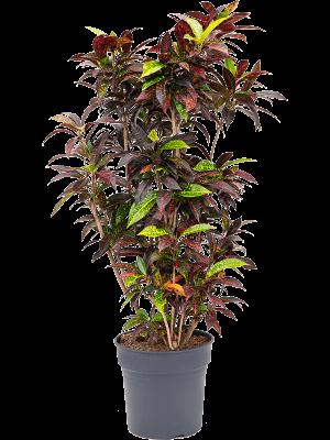 Croton (codiaeum) freckles