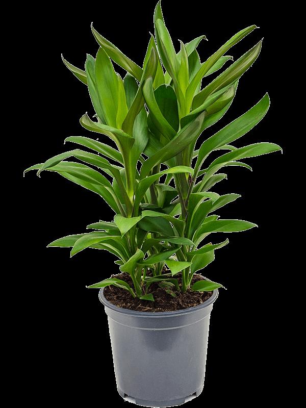 Cordyline 'Glauca' Touffe 19/17 55 - Plante - Main image