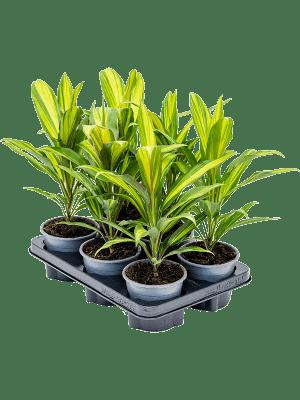 Cordyline kiwi 6/tray