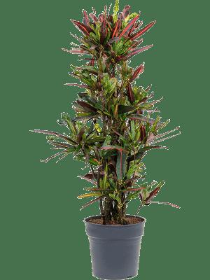 Croton (codiaeum) mamey
