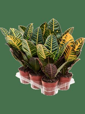 Croton (Codiaeum) variegatum 'Petra' 10/tray  12/11 30 - Plant