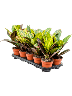 Croton (codiaeum) petra 10/tray