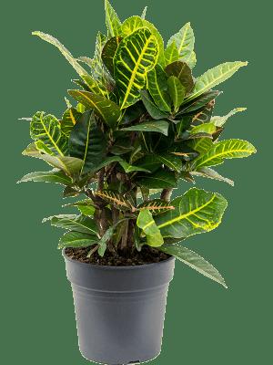 Croton (codiaeum) variegatum 'Petra' Verzweigt 21/20 60 - Pflanze