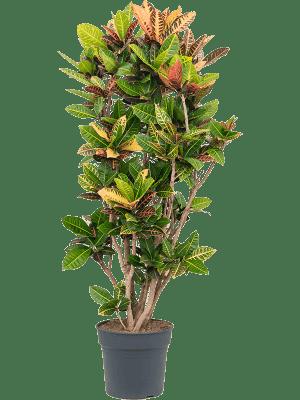 Croton (codiaeum) petra