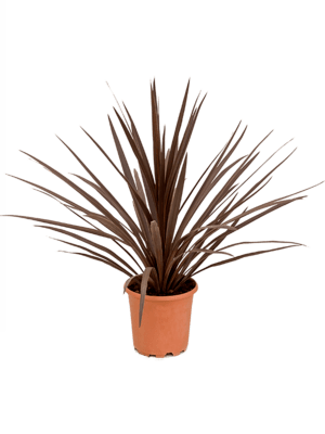 Cordyline australis 'Red Star'  24/22 90 - Plante