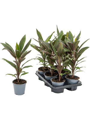 Cordyline rumba 6/tray