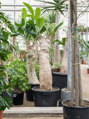 Cyphostemma juttae Tige 38/28 120 - Plante