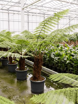 Dicksonia antarctica Tige (60) 45/35 175 - Plante