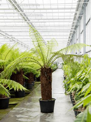 Dicksonia antarctica Stamm (90) 50/34 200 - Pflanze
