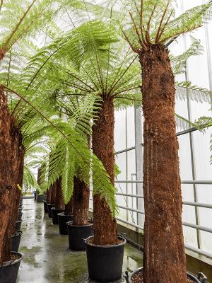 Dicksonia antarctica Tige (240) 65/44 360 - Plante