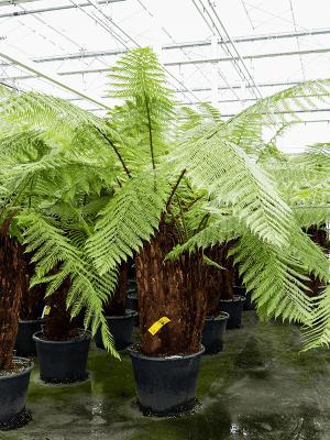 Dicksonia antarctica Stamm Speziell (120) 55/41 200 - Pflanze