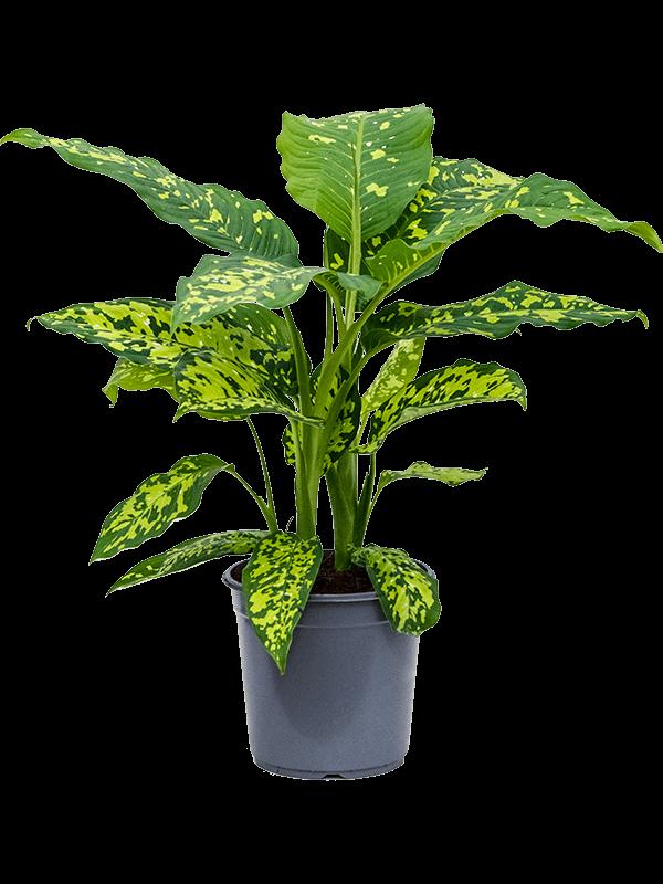 Dieffenbachia seguine 'Cheetah' Busch 24/23 65 - Pflanze - Main image