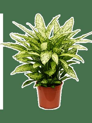Dieffenbachia vesuvius