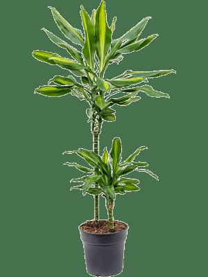 Dracaena fragrans 'Cintho'' 45-15 19/18 80 - Plant