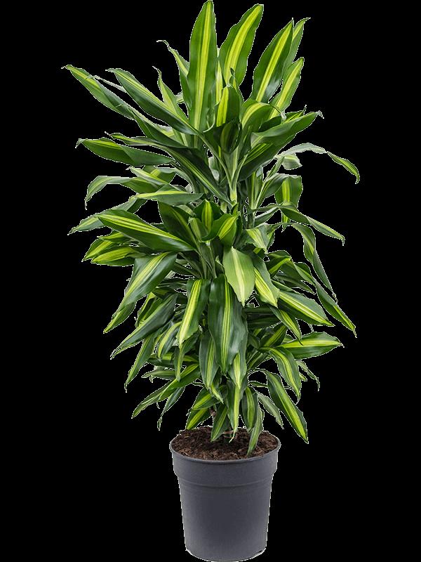 Dracaena fragrans 'Cintho' Ramifié-multi 24/23 100 - Plante - Main image