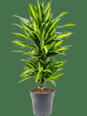 Dracaena fragrans 'Cintho' Ramifié-multi 21/20 70 - Plante