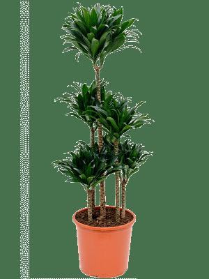 Dracaena compacta