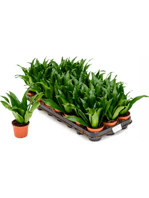 Dracaena fragrans 'Compacta' 21/tray Head 9/7 20 - Plant