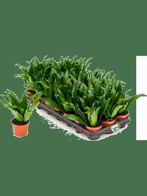 Dracaena fragrans 'Compacta' 21/tray Kop 9/7 20 - Plant