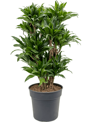 Dracaena fragrans 'Compacta' Ramifié-multi 27/25 90 - Plante