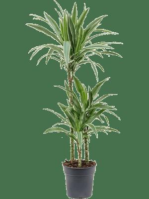 Dracaena deremensis 'Warneckei' 60-30-15 21/20 105 - Plante