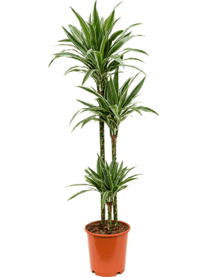 Dracaena deremensis 'Warneckei' 90-60-30 24/23 130 - Plante