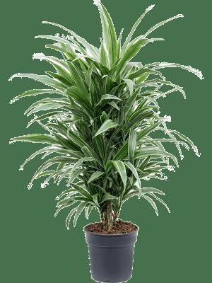 Dracaena deremensis 'Warneckei' Ramifié-multi 27/25 120 - Plante