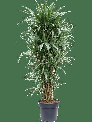 Dracaena deremensis 'Warneckei' Ramifié-multi 34/28 170 - Plante