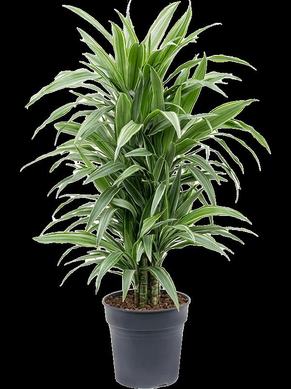 Dracaena deremensis 'Warneckei' Ramifié-multi 24/23 90 - Plante - Main image